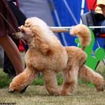 Spookie som unghund på Pudelnationalen